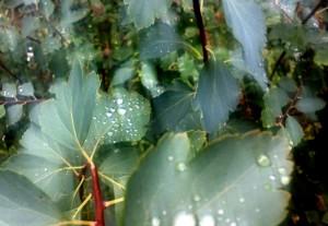 regenblaetterkl